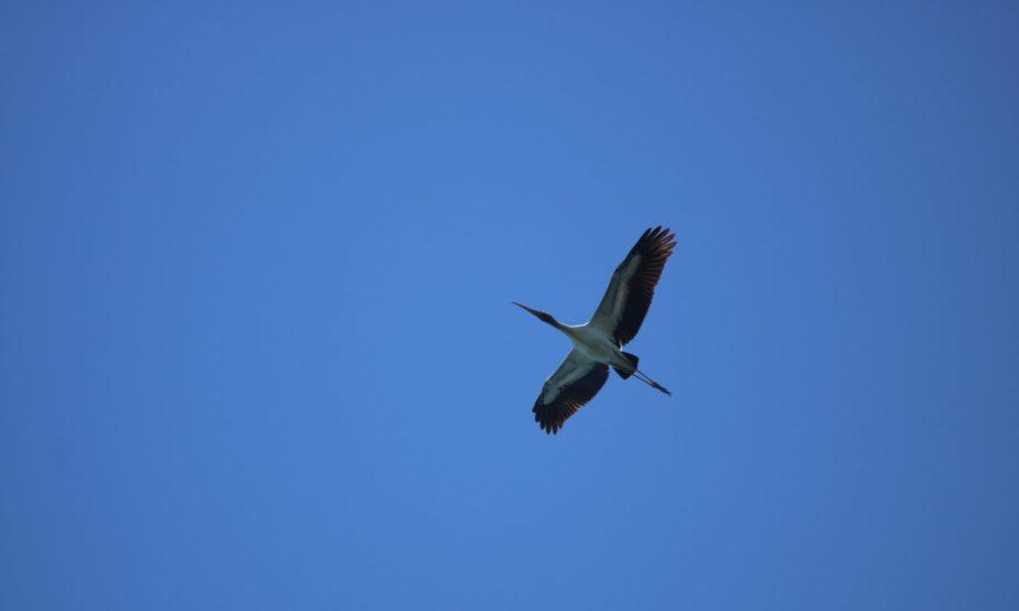 Wood Stork at PointPelee!!!!!!
