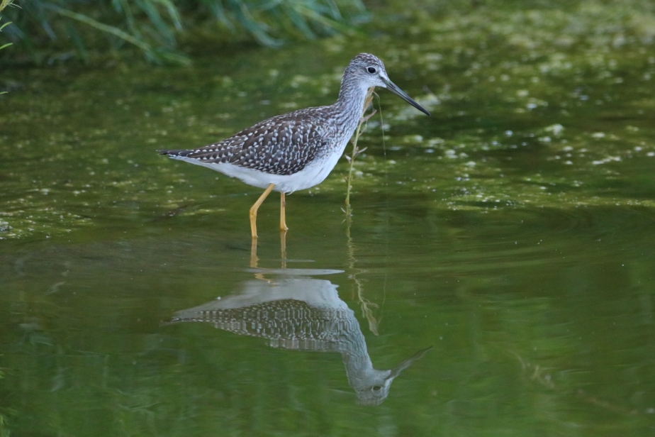 Bird ID: Greater or Lesser Yellowlegs