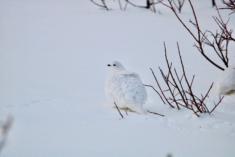 White-tailed Ptarmigan Trip
