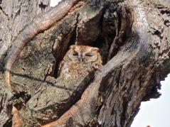 Eastern Schreech-Owl