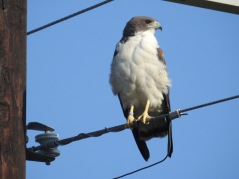 Whate-tailed Hawk