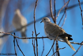 EurasianCollared-Dove01