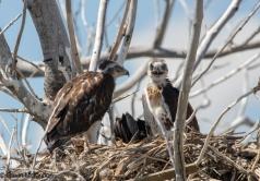 Ferugenous Hawk